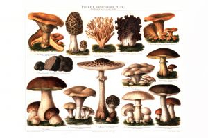 Mushrooms I